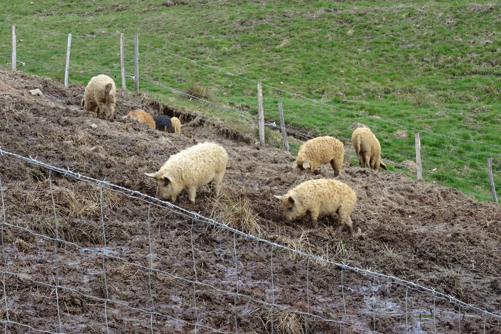 De temps en temps nous ferons comme ces petits cochons, nous pataugerons dans la boue mais ce ne sera qu'épisodiques.