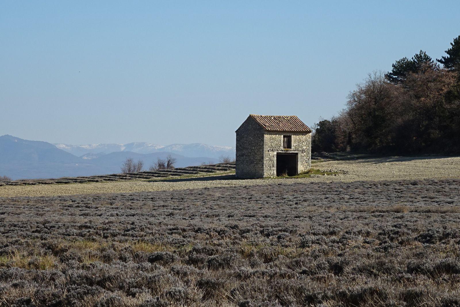Cette fois les champs de lavande ne sont pas recouverts de neige.