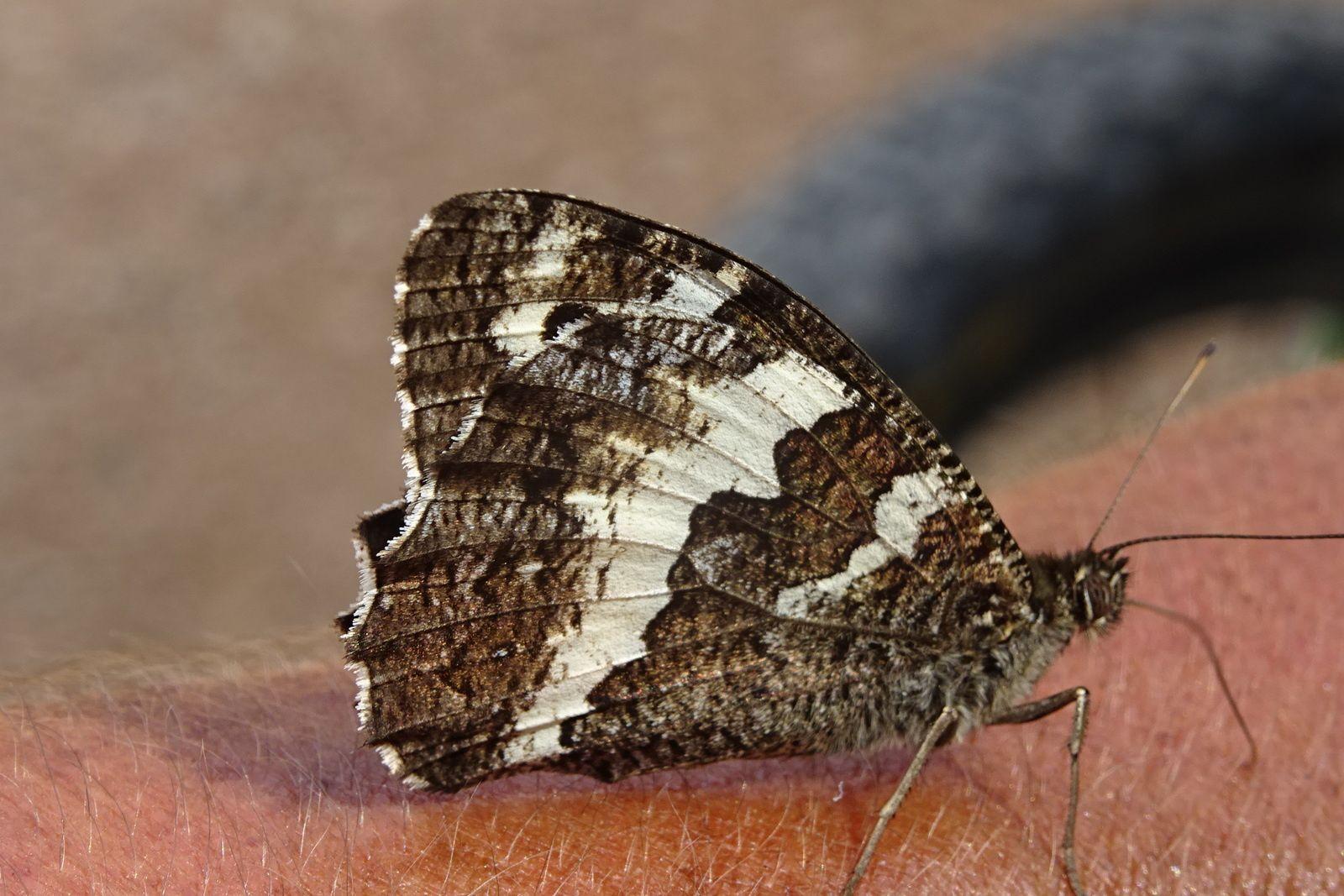 Après la flore, la faune, il y a des milliers de papillons multicolores mais il est difficile de les photographier ailes déployées. Ce dernier tour sur Pignan est assez décevant, tant pis !