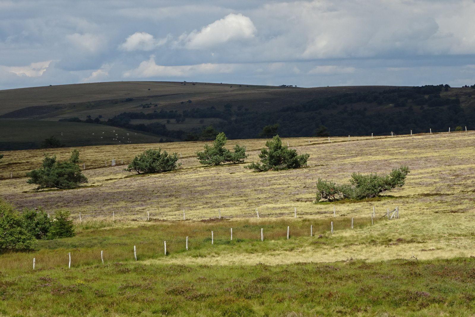 Paysages typiques des Hautes Chaumes avec les arbres squelettiques et la bruyère