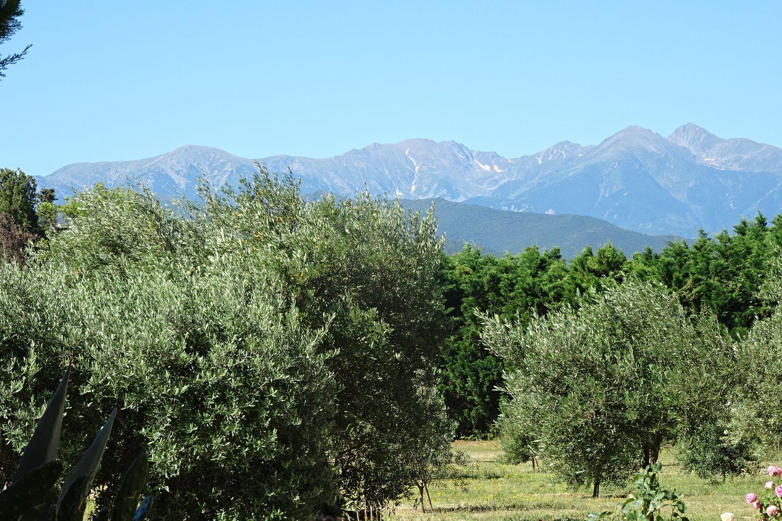 Plantation d'oliviers.