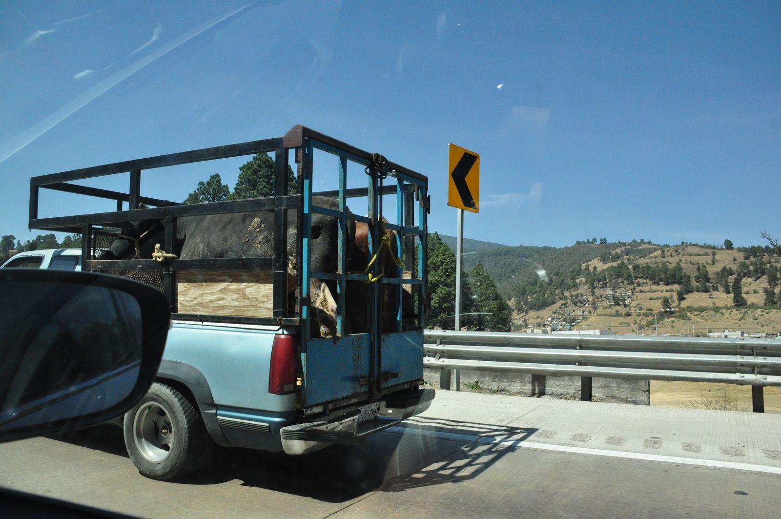 Même les vaches ont le droit de prendre l'autoroute !!