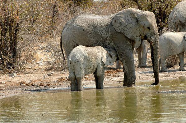 elephant etosha namibie