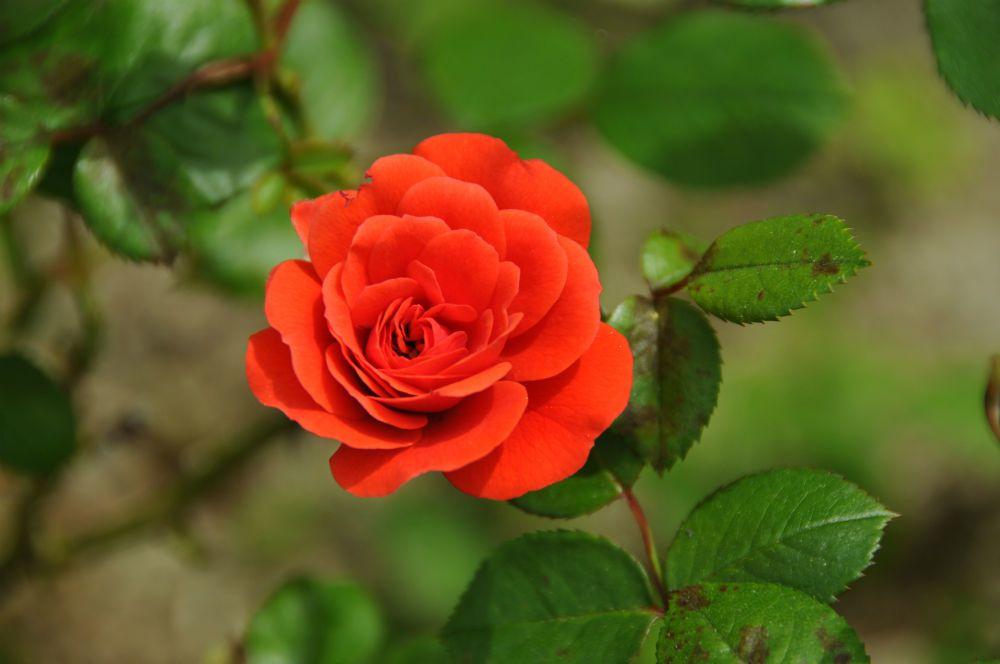 le nom de la rose - Opus 5 - #flowerpower2015 - ©bernieshoot