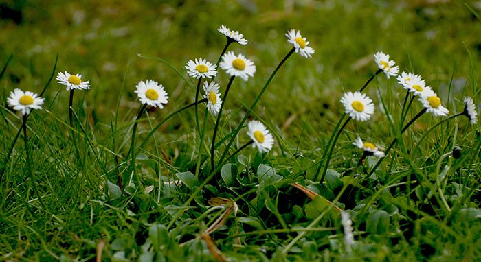 marguerites blanches sauvages @bernieshoot