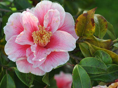 douceur en rose