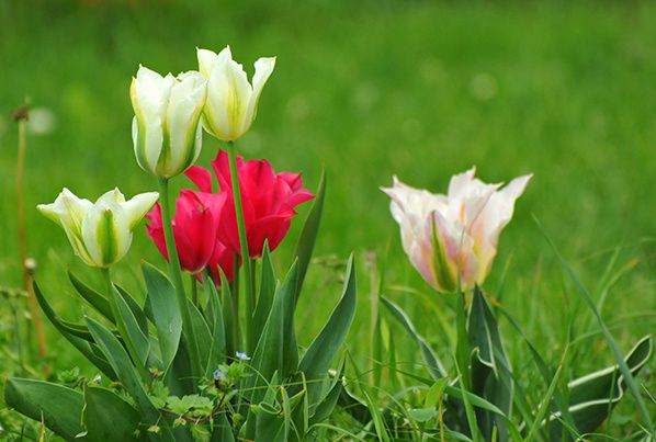 tulipe couleur lumiere luminosite rayonnement printemps