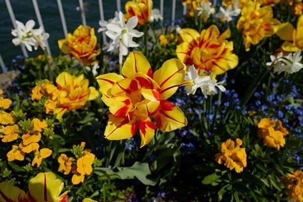 fleur_jaune_rouge_jonquille_evian