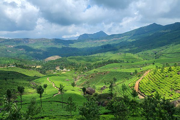 Tea Plantations in Munnar,Kerala,India © vkmphotos
