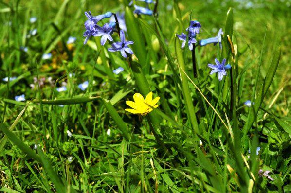 jacinthe mauve fleur jaune