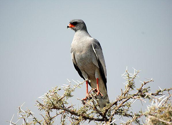 rapace bec rouge plumes grises etosha namibie