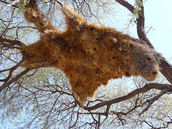 nid oiseau communaute etosha namibie