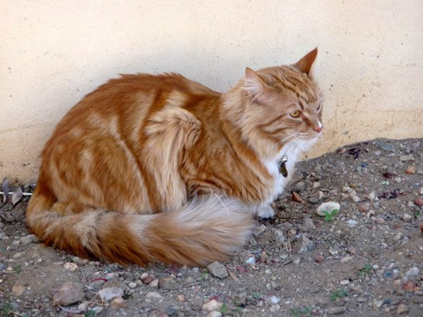 chat roux blanc collier namibie