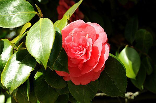 belle rose rouge eclose nantes