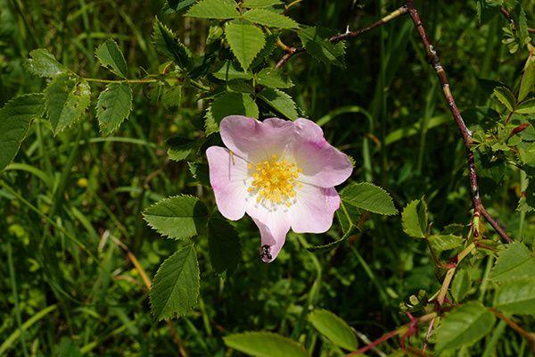 rose douceur bonheur lundi soleil defi photographique explications