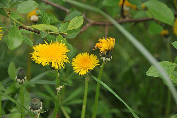 fleur jaune pissenlit