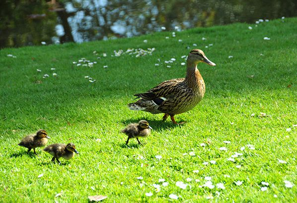 famille canard canne