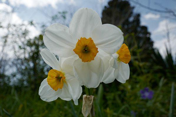fleur jonquille macro