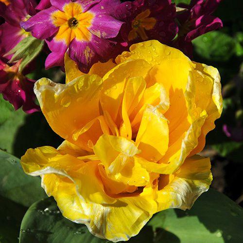 belle-tulipe-jaune-rosee-matin-jardin