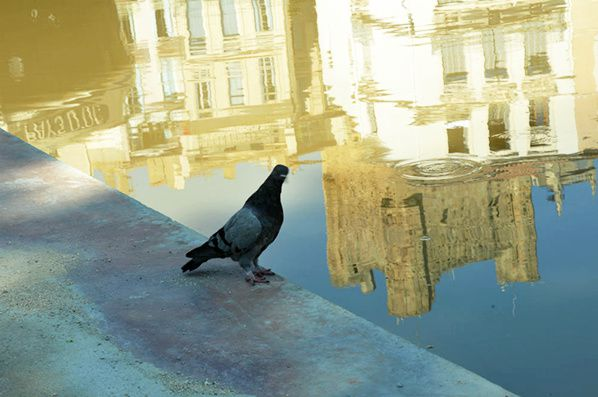 pigeons narbonne