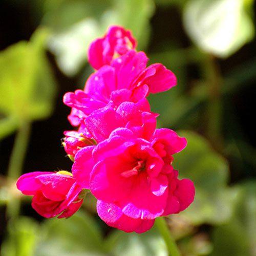 fleur-fuschia magenta