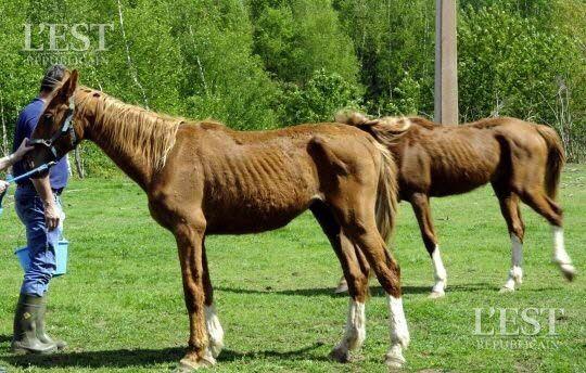 Squelettiques, les cinq chevaux survivants ont été recueillis par la fondation Brigitte Bardot. Photo d'illustration