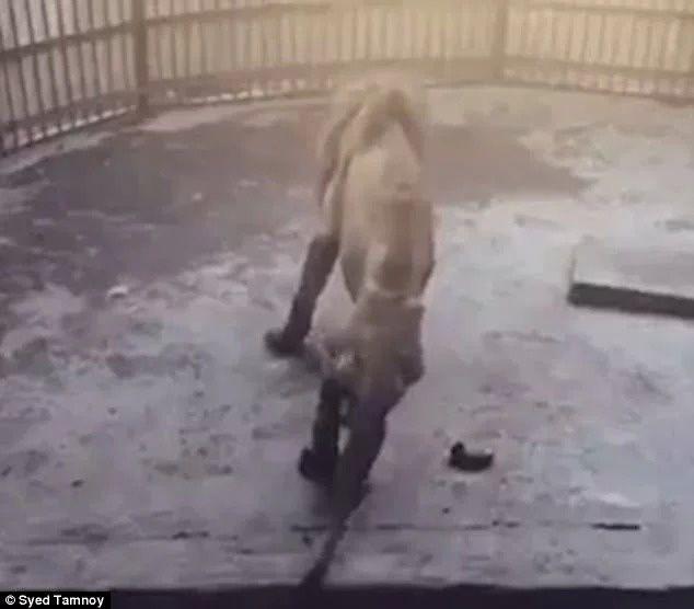 Les images d'un lion squelettique dans un zoo au Bangladesh provoquent l'indignation des internautes
