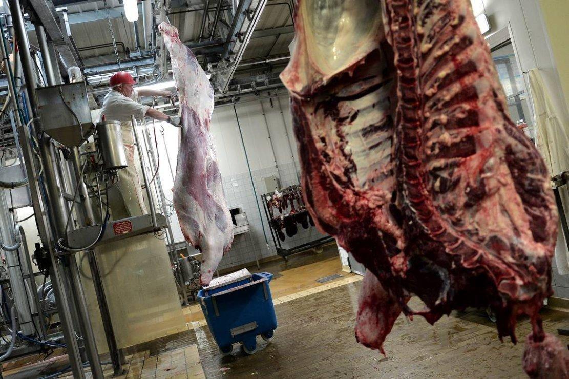 Carcasses de bovins abattus selon des rites religieux à l'abattoir de Haguenau, le 21 juillet 2016