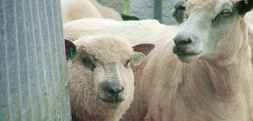 """Des moutons et des bovins ont été pris en charge et rejoindront """"l'Arche de BB"""", en Normandie. -  Illustration"""