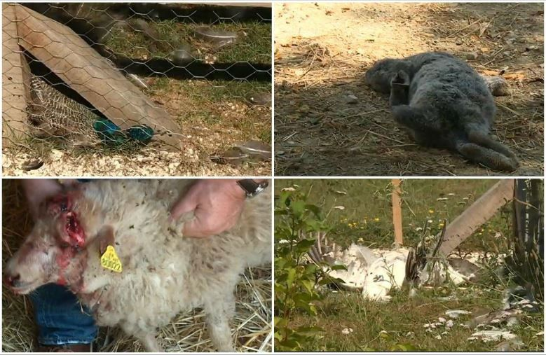Massacre à la ferme pédagogique des animaux frappés à mort