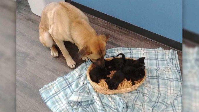 Canada : Une chienne errante a recueilli et sauvé cinq chatons abandonnés du froid