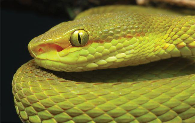La nouvelle espèce de crotale se distingue notamment par la présence d'une fine bande orange à rouge au niveau de la tête.
