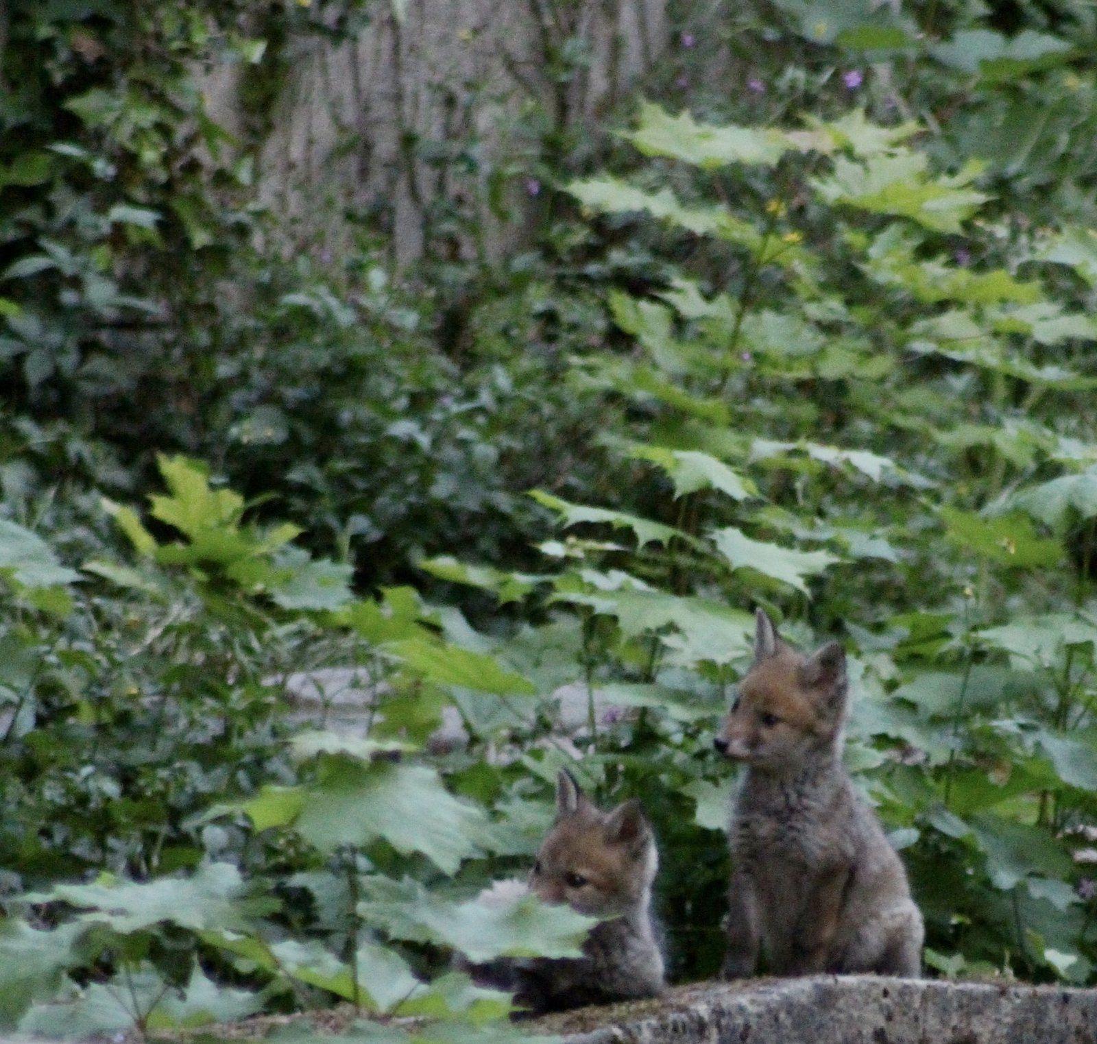A Paris, une famille de renards photographiée au cimetière du Père Lachaise