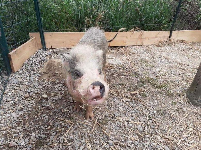"""Maltraitance animale dans un élevage porcin à Eaunes / © Association """" Agir pour les animaux"""""""