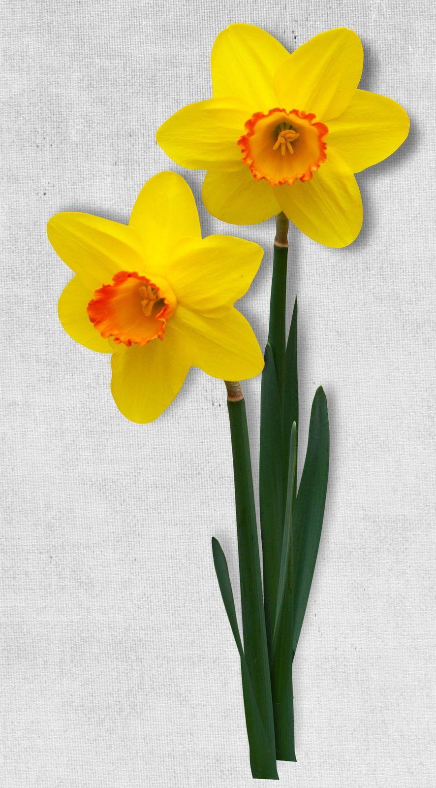 Fleur-Jaune-Narcisse-Jonquille-
