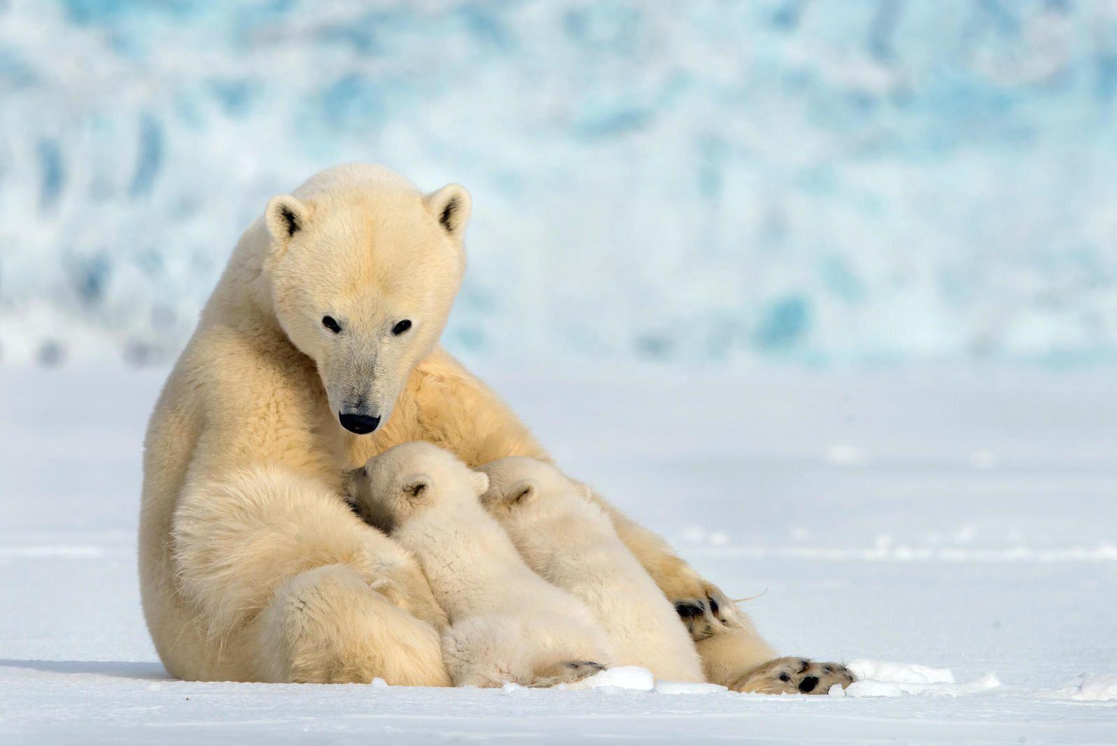 Document inédit sur les ours polaires samedi 3 mars sur France 2.