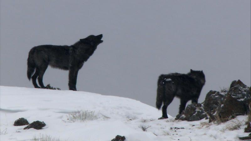 Yellowstone, la dynastie des loups : documentaire diffusé le 10 novembre.