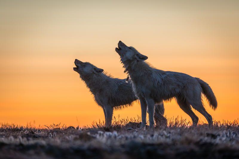 Le royaume du loup blanc : soirée spéciale ce dimanche sur National Geographic Wild (Inédit).