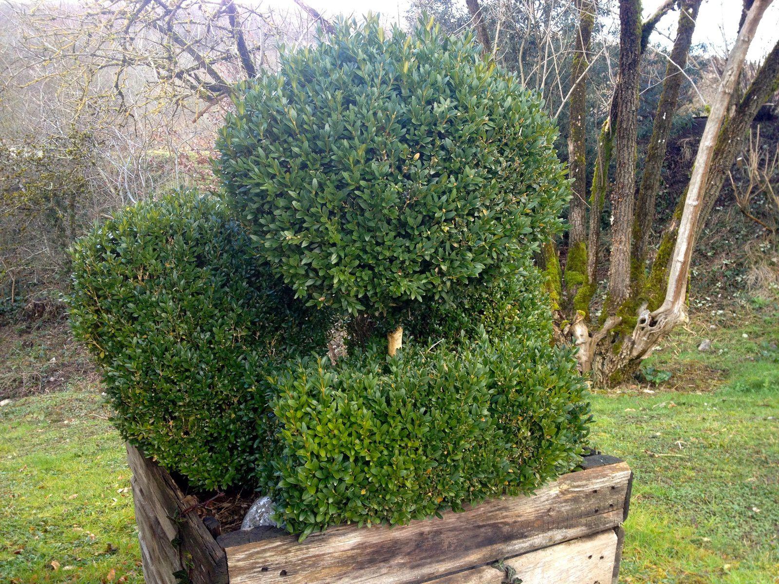 Les buis - Jardinage à Frescati