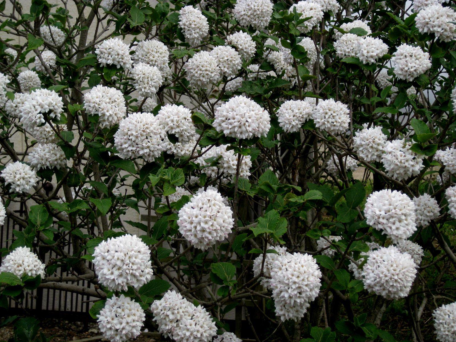 Viburnum plicatum 'Popcorn' (photo empruntée). Sublime, j'ai hâte qu'il pousse !