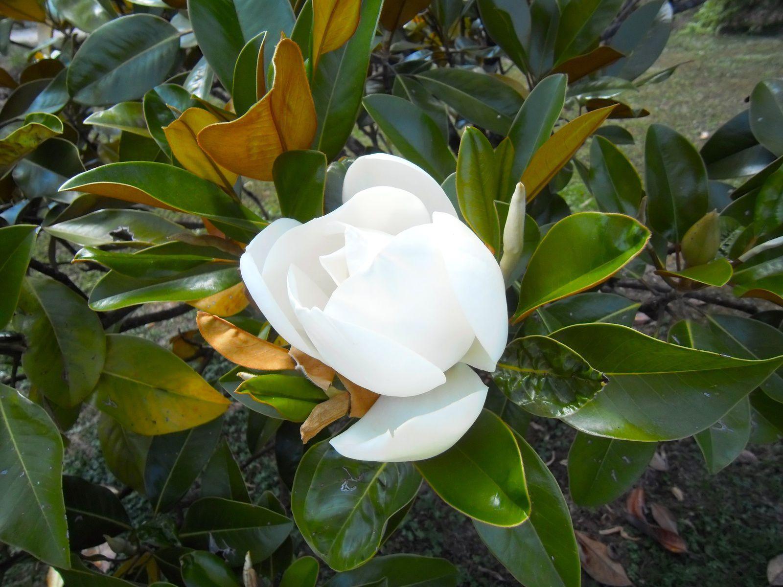 Magnolia grandiflora - juin
