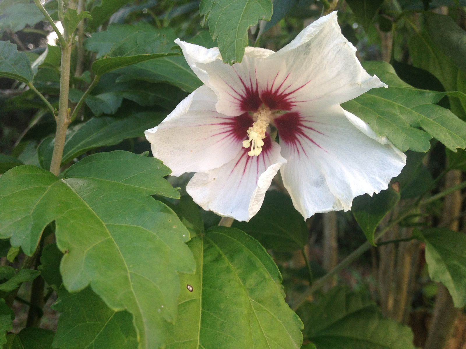 Althea (Hibiscus syriacus 'red heart') - juillet
