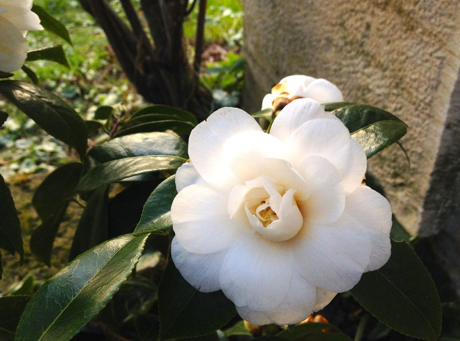 Camélia (Camellia japonica) - fin mars
