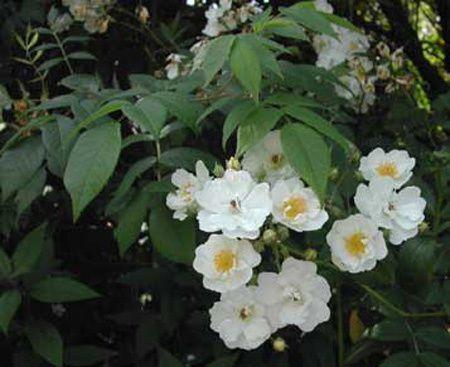 Les roses anciennes du Jardin de Talos - Seagull