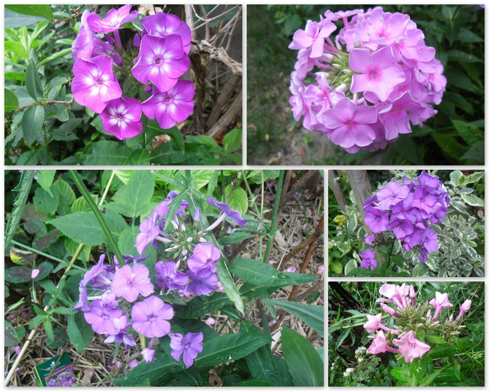 Phlox paniculata - photos empruntées à Jacqueline