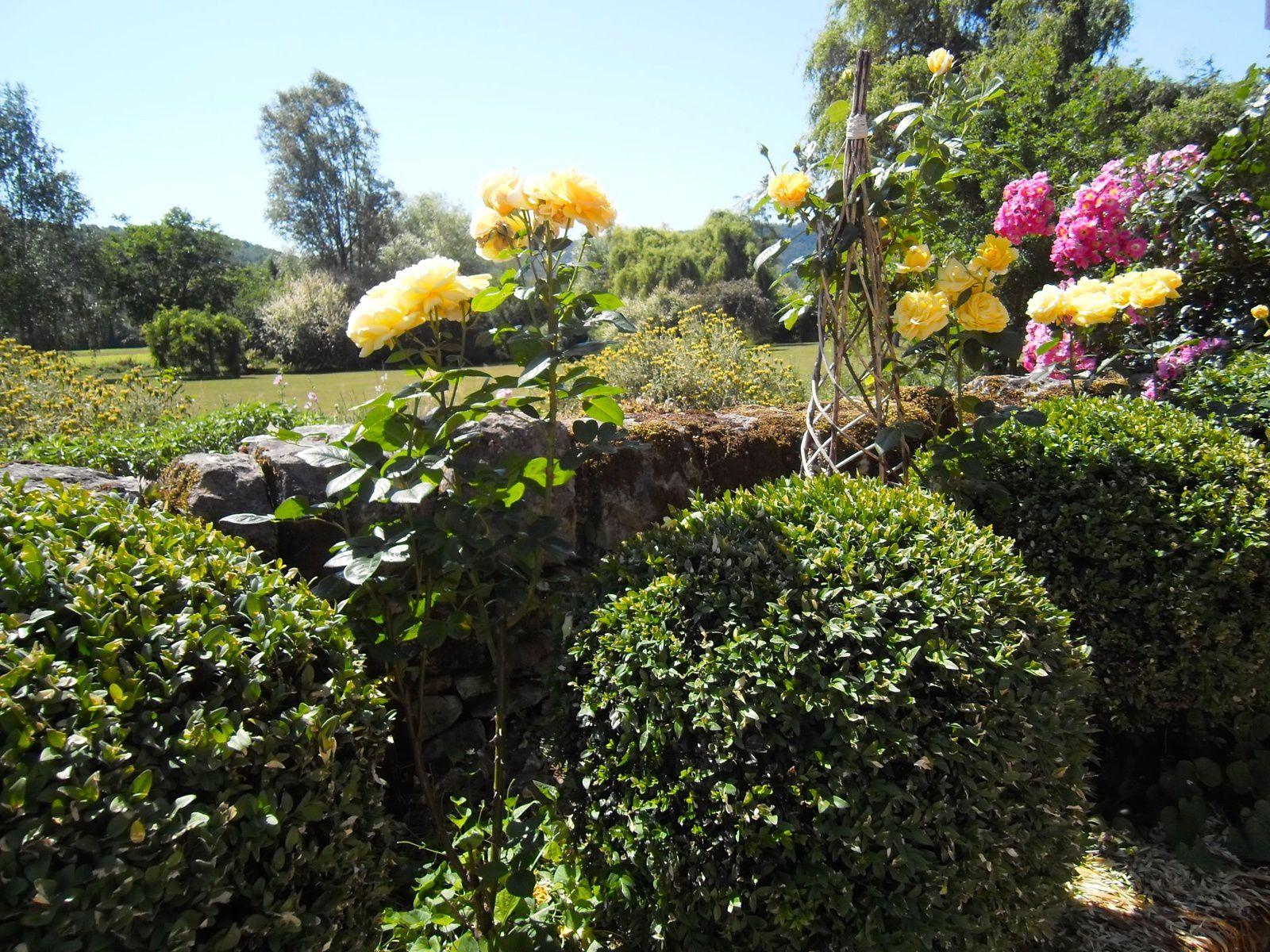 Buxus sempervirens, rosiers 'Michelangelo' et 'Maria Lisa'