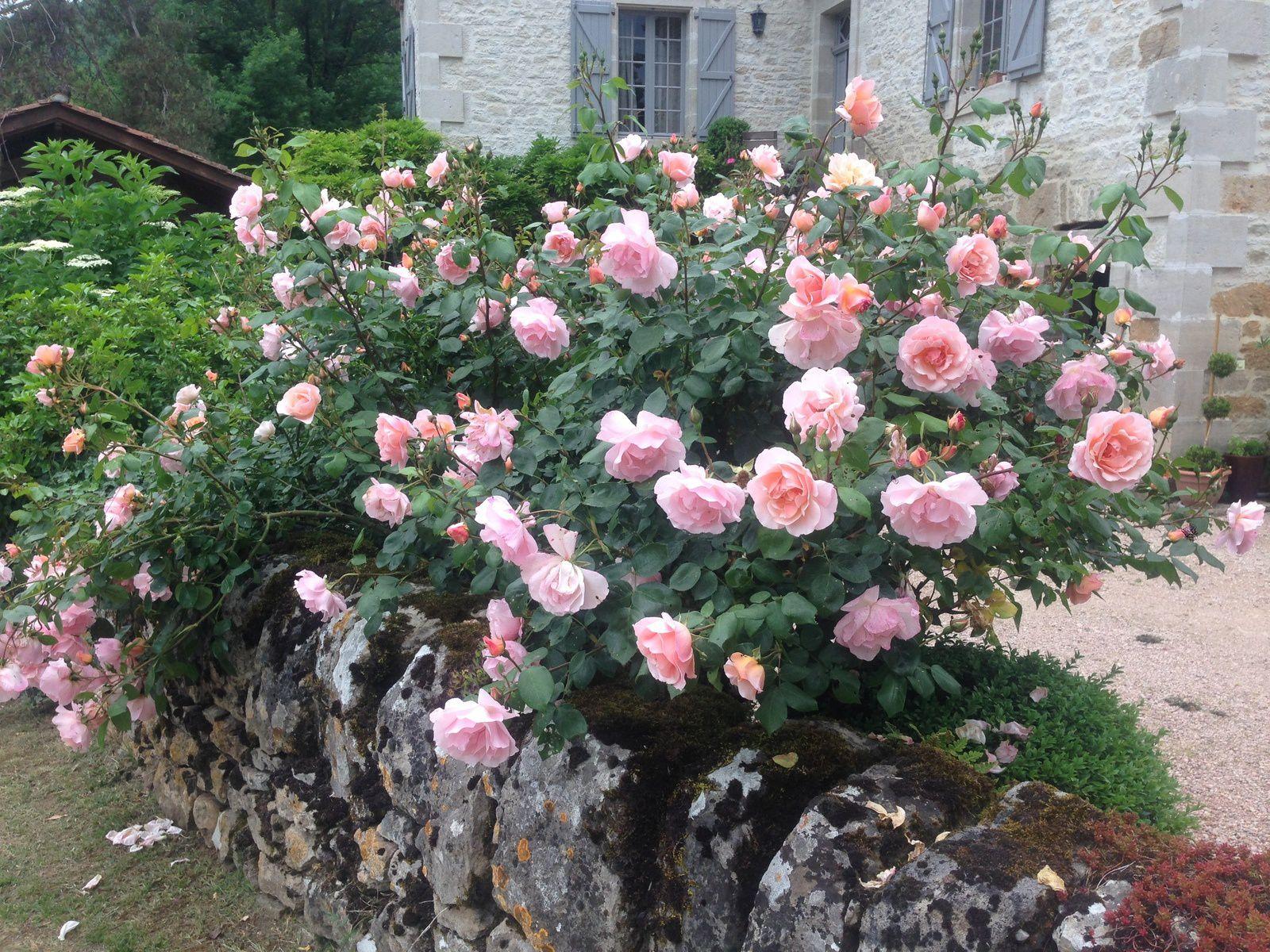 Les scabieuses de Danielle de Charente-Maritime