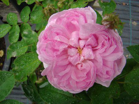 'Salet', nouveau au Jardin de Frescati