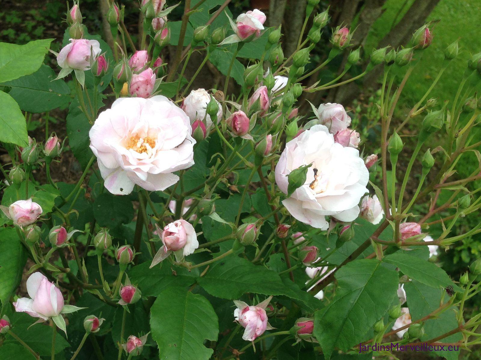'Blush Noisette' au Jardin de Frescati