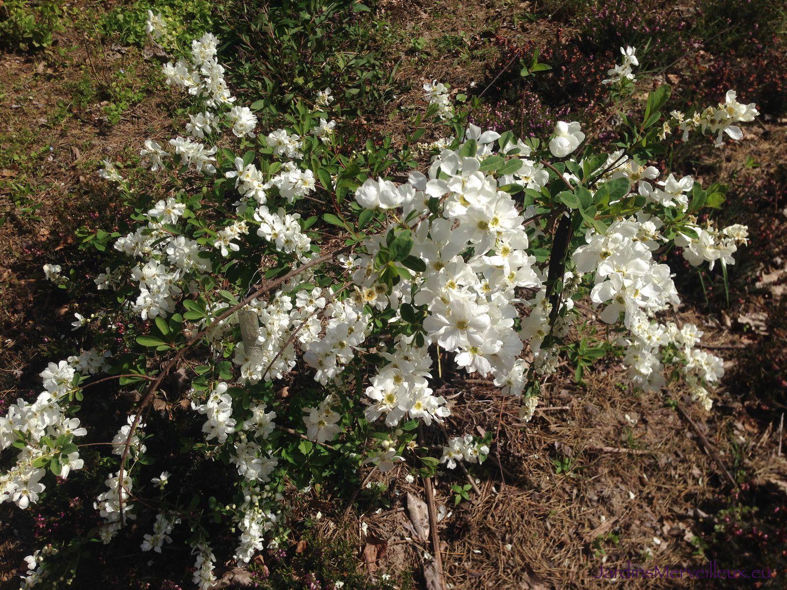 Exochorda macrantha 'The Bride'